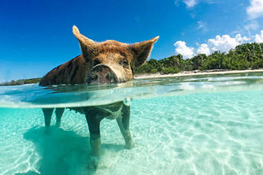 Swimming pig Exuma