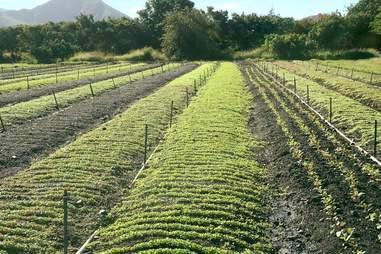 MAʻO Organic Farms