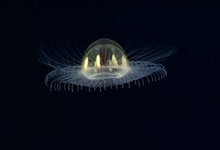 This Rare Video of a Deep-Sea 'Cosmic' Jellyfish Is Weird as Hell