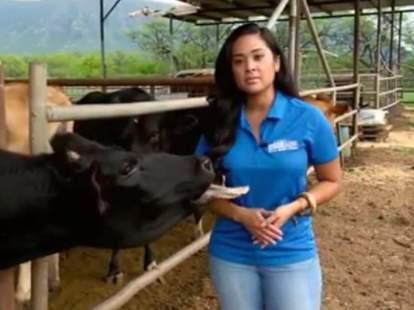cow lick news blooper