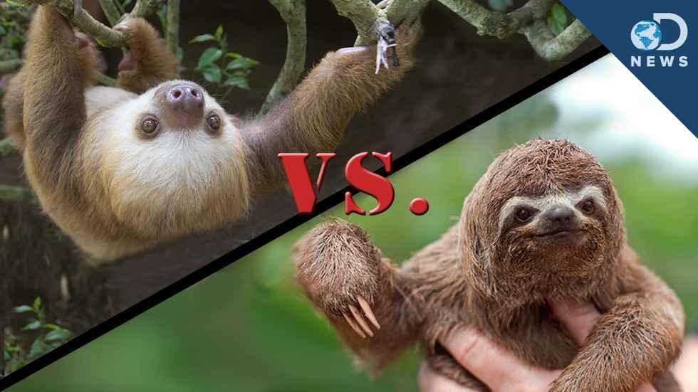 brazilian 3 toed sloth