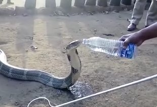 Drought-Stricken Cobra Calmly Accepts Drink From a Water Bottle