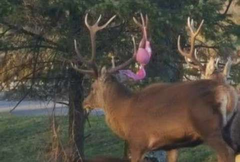 deer with bra caught in antlers