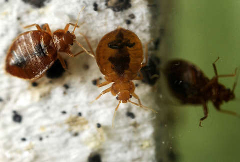 How To Check For Bed Bugs In Hotels Or Your Hostel Mattress