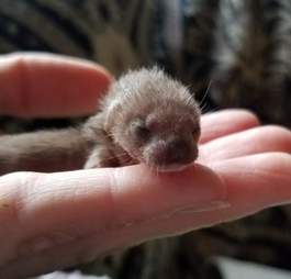 Baby weasel rescued from car engine
