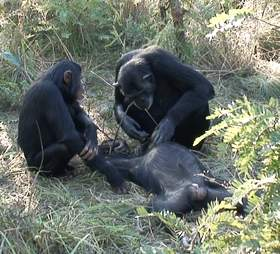 Chimpanzees mourning the death of their family member