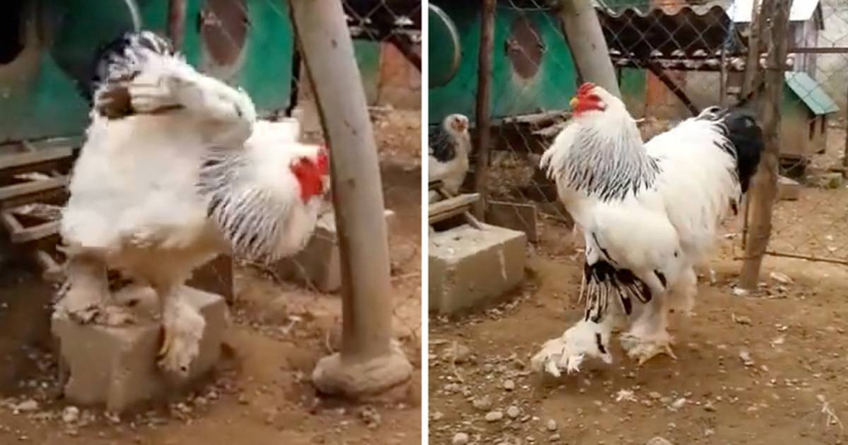 Largest rooster
