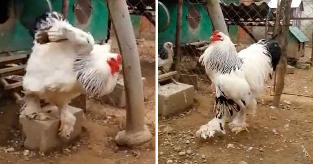 This Rooster Is The Size Of A Small Child And He S Real