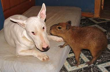 Cheese the capybara as a baby with one of the dogs