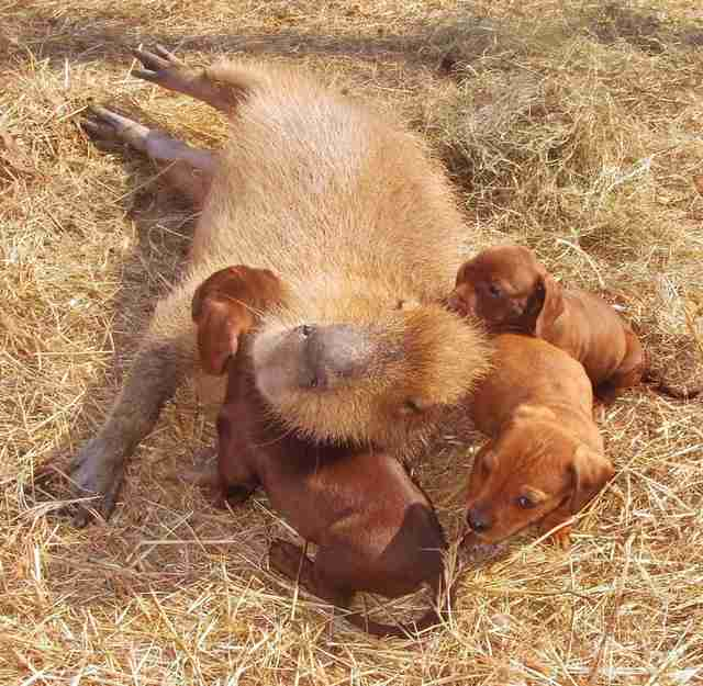 Cheesecake the capybara with puppies at an Arkansas sanctuary