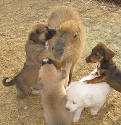 Cheesecake the capybara with puppies at an Arkansas sanctuary