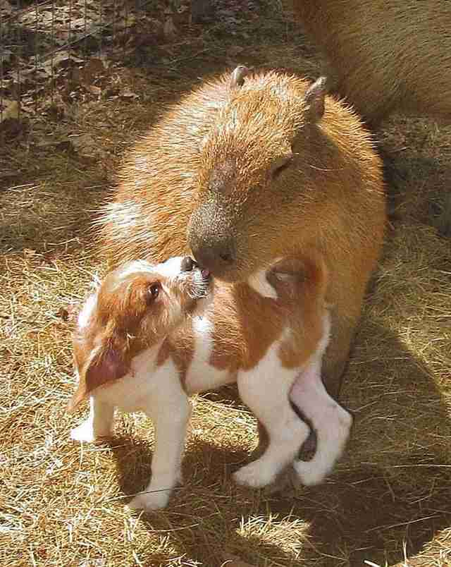Cheesecake the capybara with a puppy at an Arkansas sanctuary