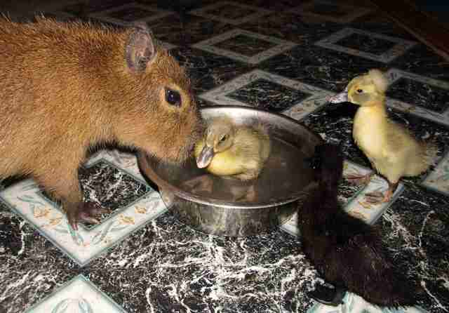 Cheesecake the capybara with ducklings at an Arkansas sanctuary