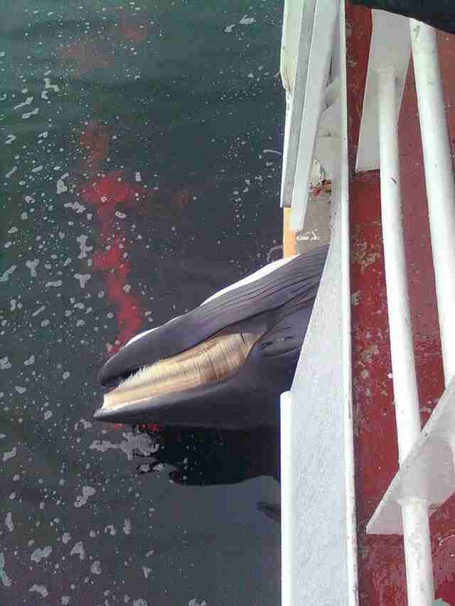 A dead minke whale on a Norwegian whaling ship