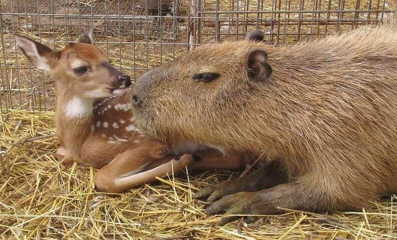 Cheesecake the capybara with a deer at an Arkansas sanctuary