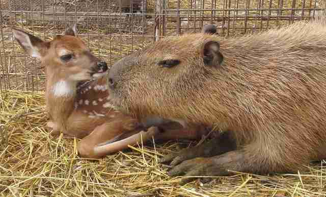Cheesecake the capybara with a deer at an Arkansas sanctuary