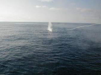A harpooned minke whale during the Norway whale hunt