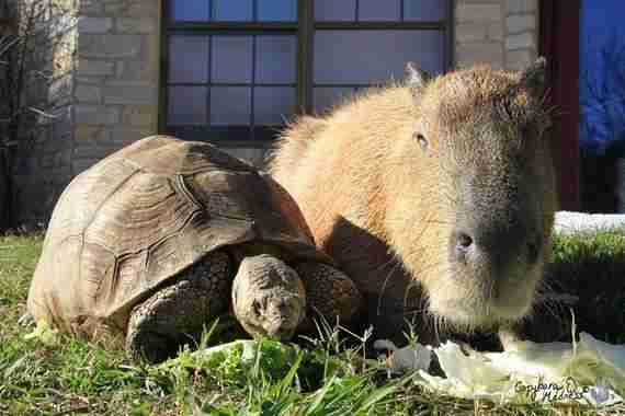 Cheesecake the capybara with a tortoise at an Arkansas sanctuary