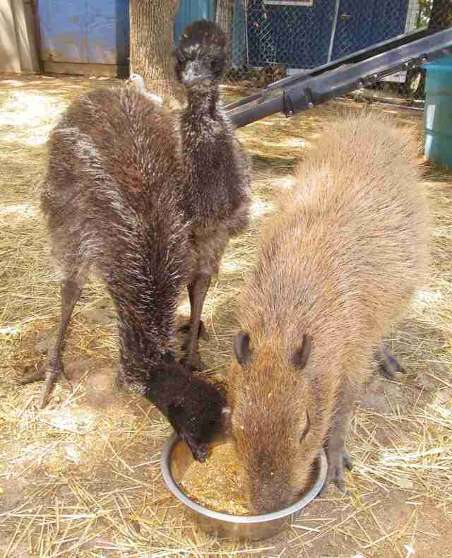 Cheesecake the capybara with two emus at an Arkansas sanctuary