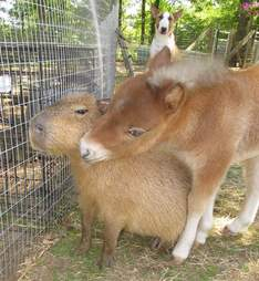 Cheesecake the capybara with a mini horse at an Arkansas sanctuary