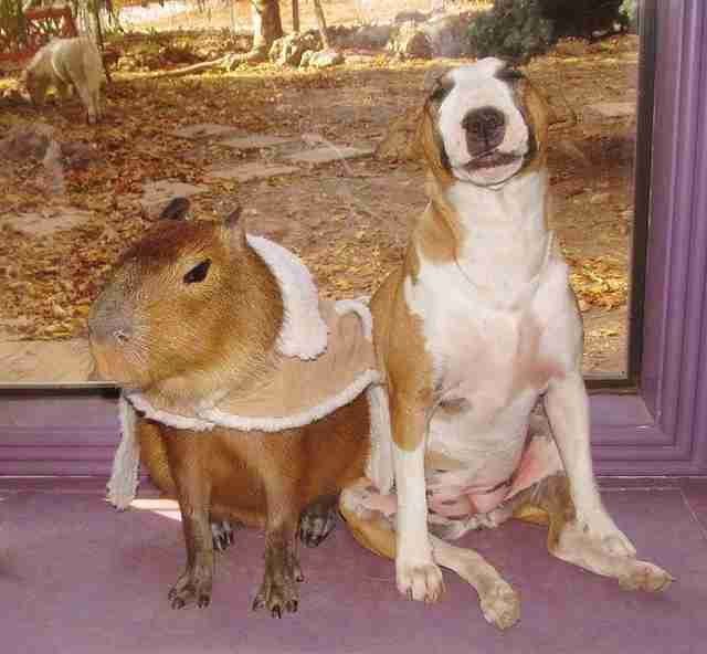 Cheesecake the capybara with a dog at an Arkansas sanctuary
