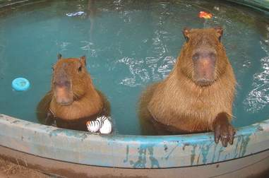 Two capybaras at an Arkansas sanctuary