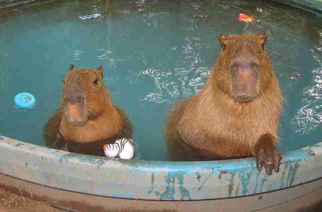 Two capybaras at an Arkansas sanctuary