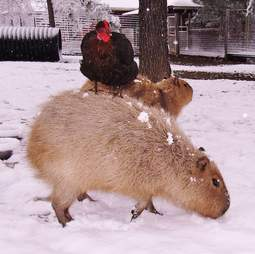 Cheesecake the capybara with a chicken at an Arkansas sanctuary