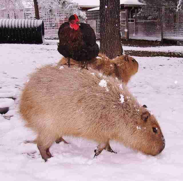Cheesecake the capybara with a chicken at an Arkansas sanctuary