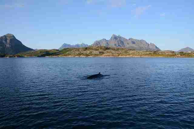 A minke whale swimming in the ocean off the coast of Norway