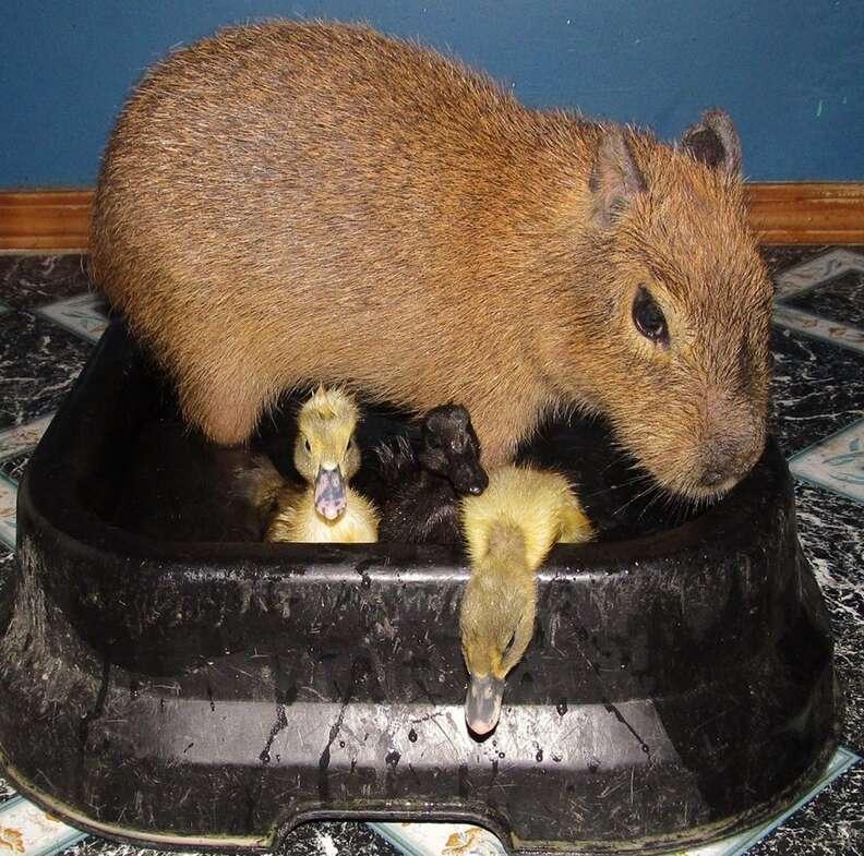 Cheesecake the capybara with ducklings at an Arkansas sanctuary