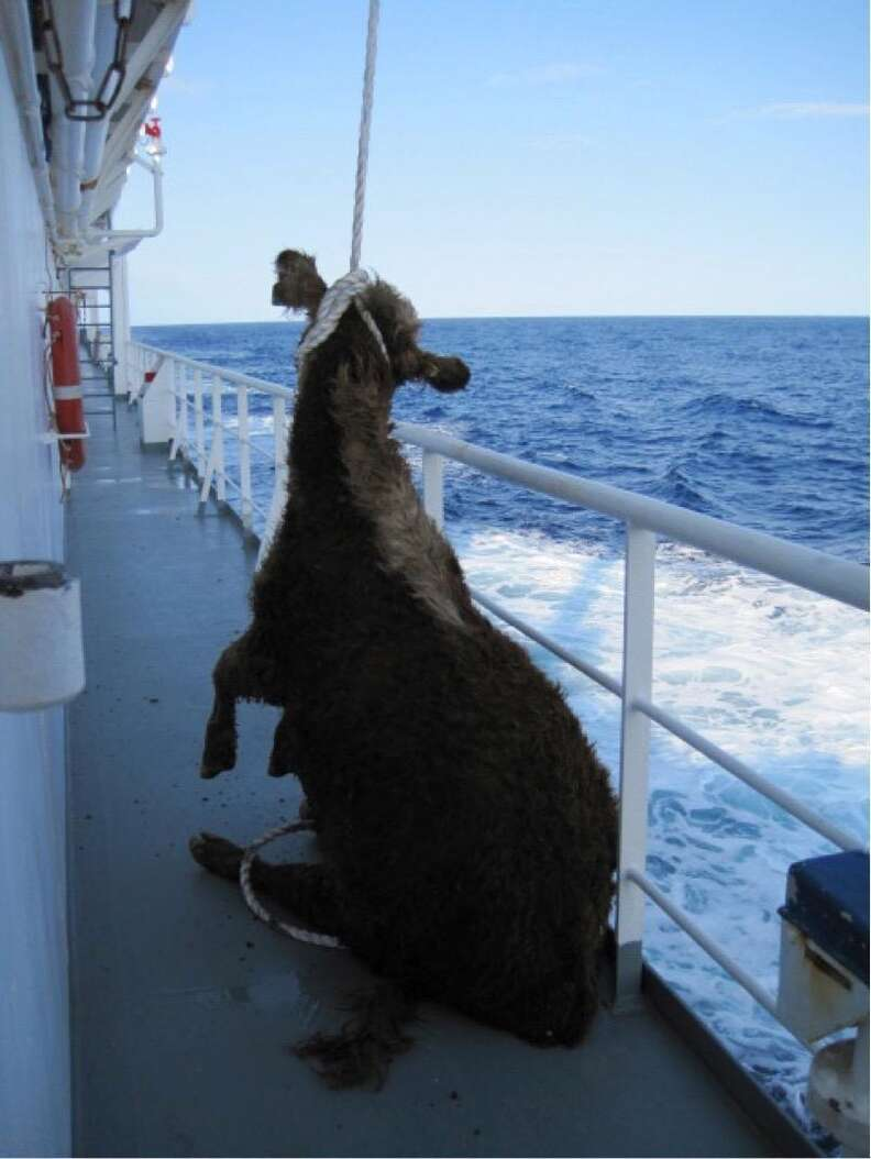 Cow being lifted by her neck on Australian live export ship