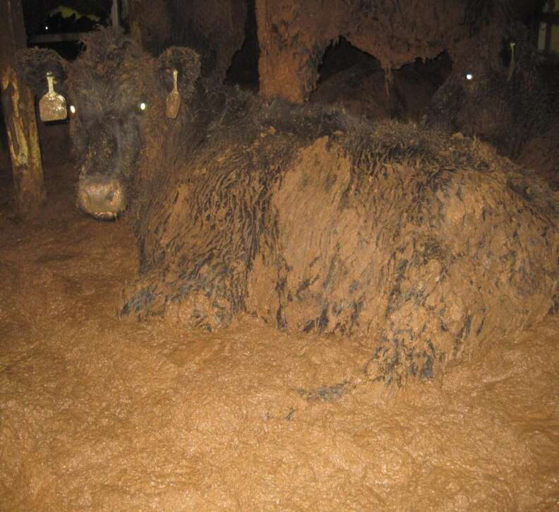 Cow covered in feces on Australian live export ship