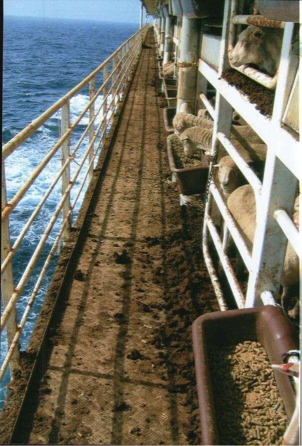 Sheep on Australian live export ship