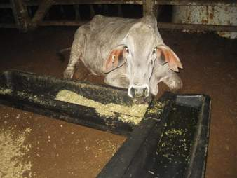 Cow on Australian live export ship