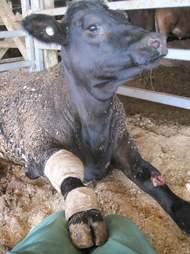 Injured cow on Australian live export ship