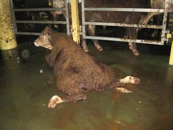 Injured cow on Australian live export ship