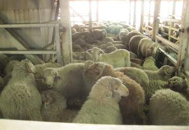 Sheep packed together on Australian live export ship