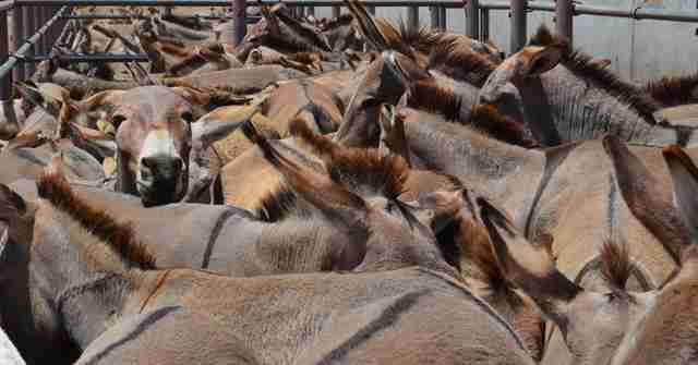 donkeys packed in pen in tanzania