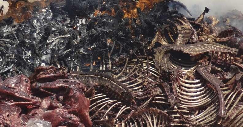 donkey skin trade carcasses burning