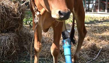 Rescued calf with prosthetic leg
