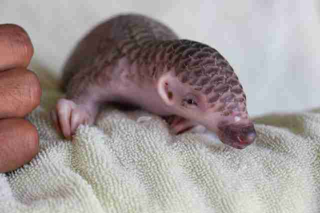 Infant pangolin saved in Cambodia