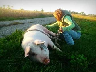 Ontario pig with girl raising her for slaughter