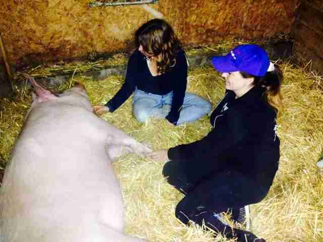 Ontario pig arriving at sanctuary