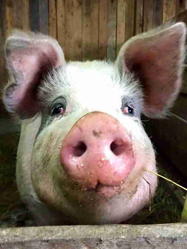 Ontario pig who was rescued from slaughter