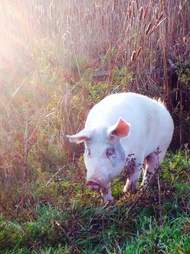 Ontario pig at sanctuary after rescue