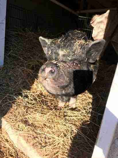 Rescued potbellied pig in her enclosure