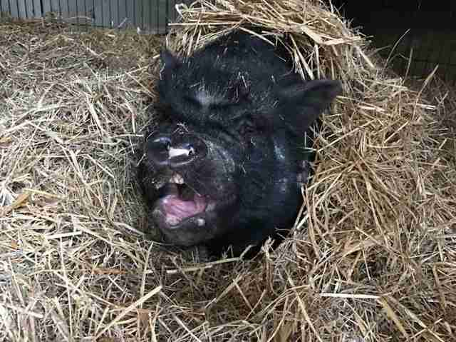 Rescued potbellied pig sleeping in the hay