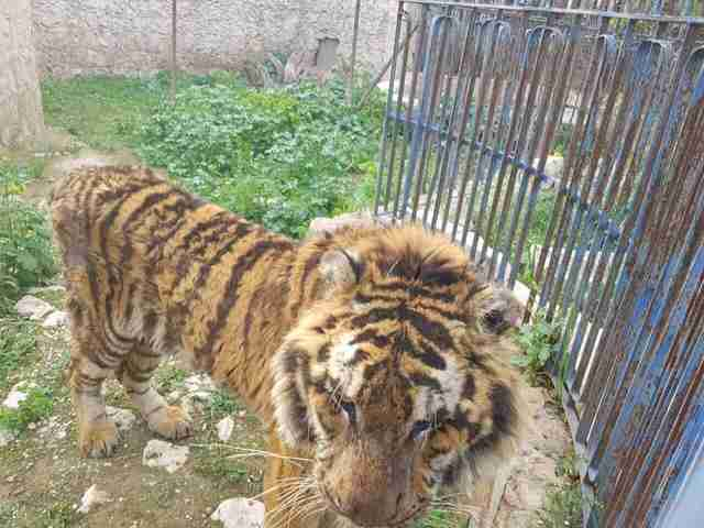 Starving tiger abandoned in Aleppo zoo