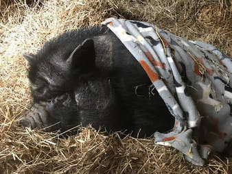 Rescued potbellied pig snuggling in blanket